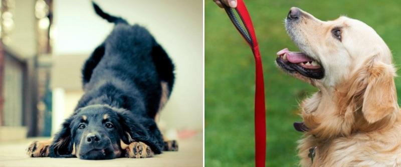 собаки учатся послушанию