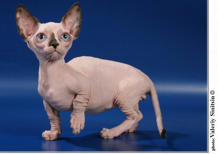 Лысые коротконогие бамбино - дизайнерская порода кошек