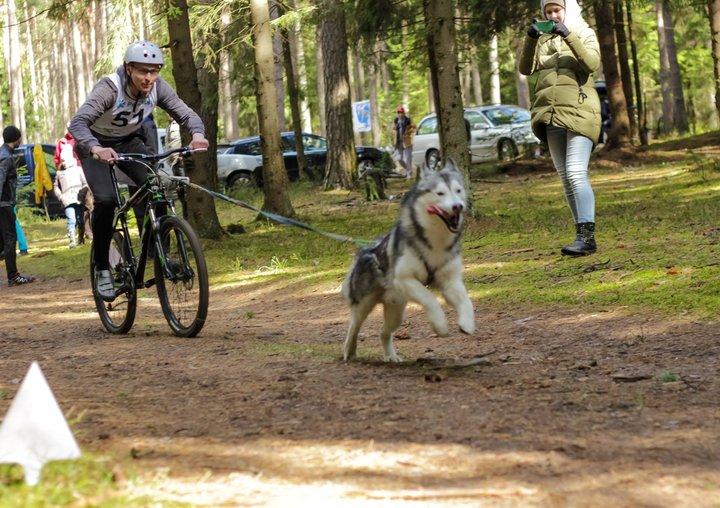 7 мая в Вязынке пройдут соревнования по бесснежным видам ездового спорта на собаках