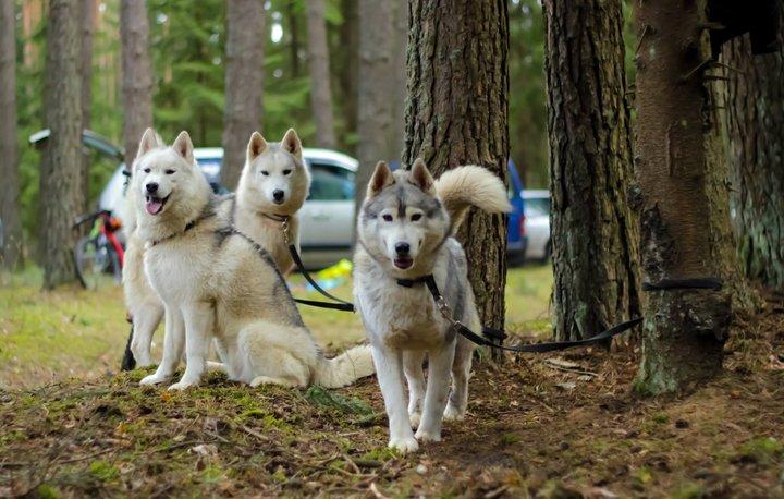 соревнования по бесснежным видам ездового спорта на собаках